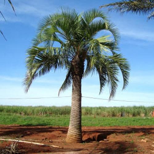 mudas de palmeira butiá da serra - cerca de 70cm de altura