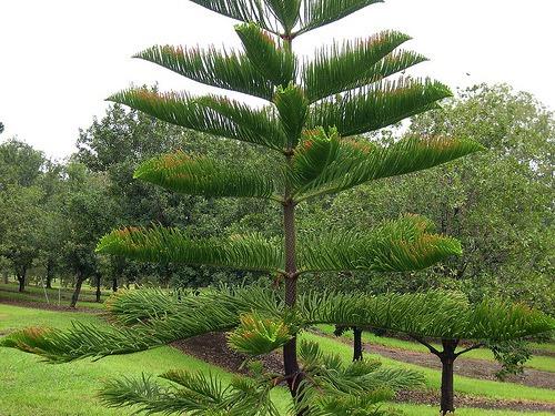 Mudas de pinheiro arauc ria curi r 70 00 em mercado livre for Tipos de pinos para jardin