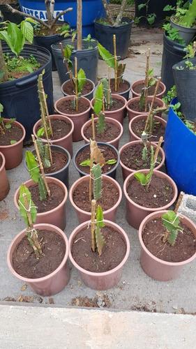 mudas de pitaya amarela selecionada com raiz (25cm)