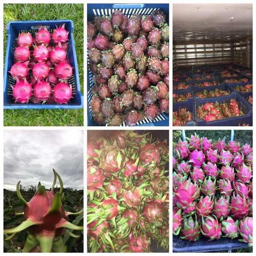 mudas de pitaya com 5 variedades (kit de 30 mudas)