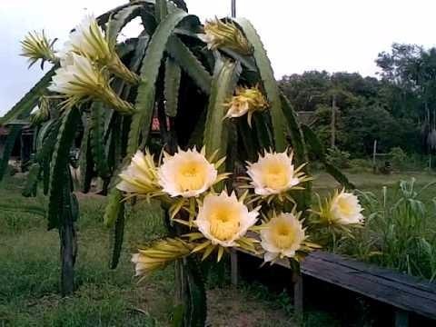 mudas de pitaya com polpa branca produzindo (30 cm)