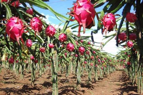 mudas de pitaya polpa branca 20 cm kit 5 un - super promoção