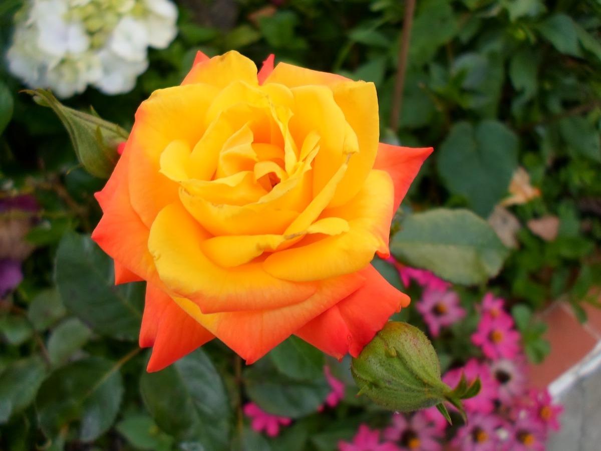 Afinal A Rosa é Rosa Amarela Ou Vermelha Gloove Perguntas E