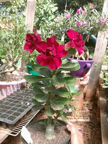 mudas de rosa do deserto 05 unidades