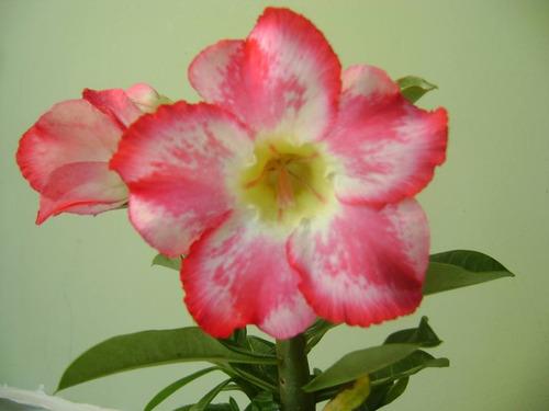 mudas de rosa do deserto 10 unidades