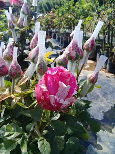 mudas de rosas, unidade (compre 10 mudas ganhe + 2 brinde)
