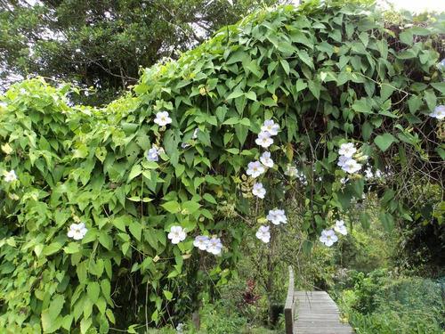 mudas de thunbergia grandiflora alba trepadeira