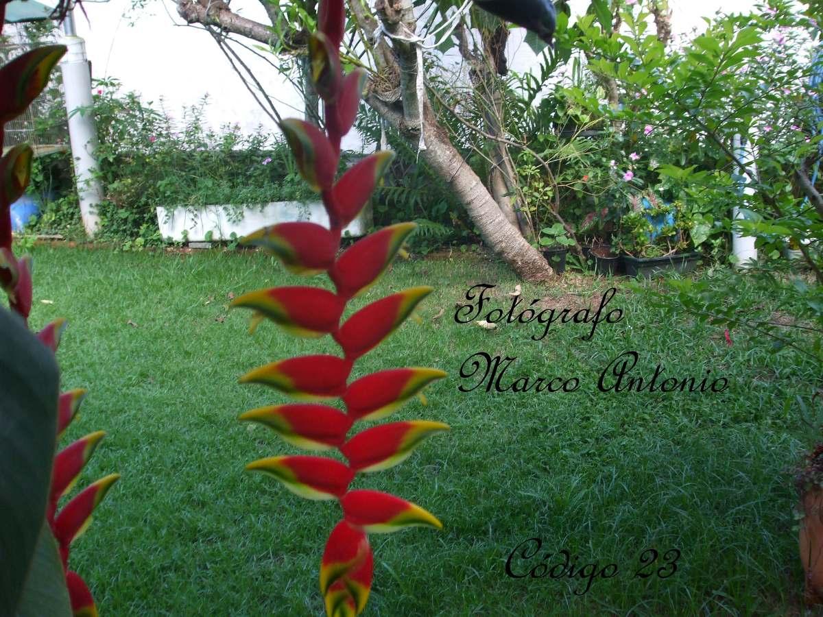 decoracao para jardins mercado livre: Helicornia Bananinha Do Mato Para Jardins – R$ 120,99 em Mercado Livre