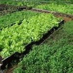 mudas orgânica de cebolinha
