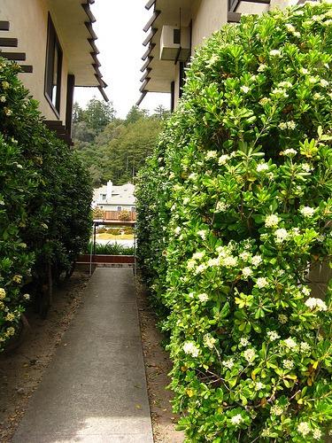 cerca para jardim mercadolivreMurta De Cheiro Jasmim Cerca Viva