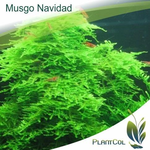 musgo navidad  christmas  planta acuática natural acuario