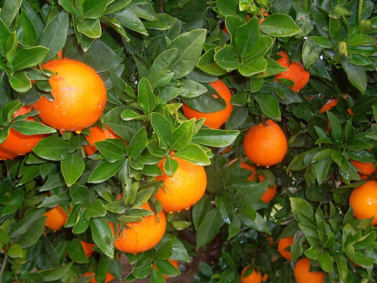 Comprar Muebles En Valencia : Naranja valencia Árbol m en mercado