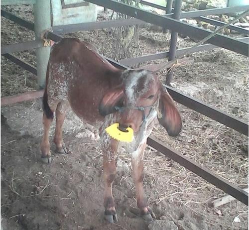 nariceras para  becerros novillas mautas gyr ganado bufalos