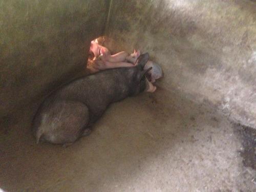 negocio de pie y engorde de cerdos