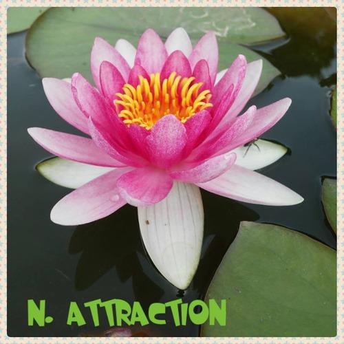 nenufar attraction