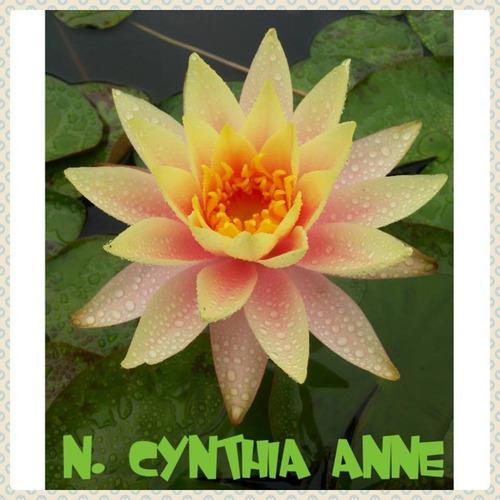 nenufar cynthia anne