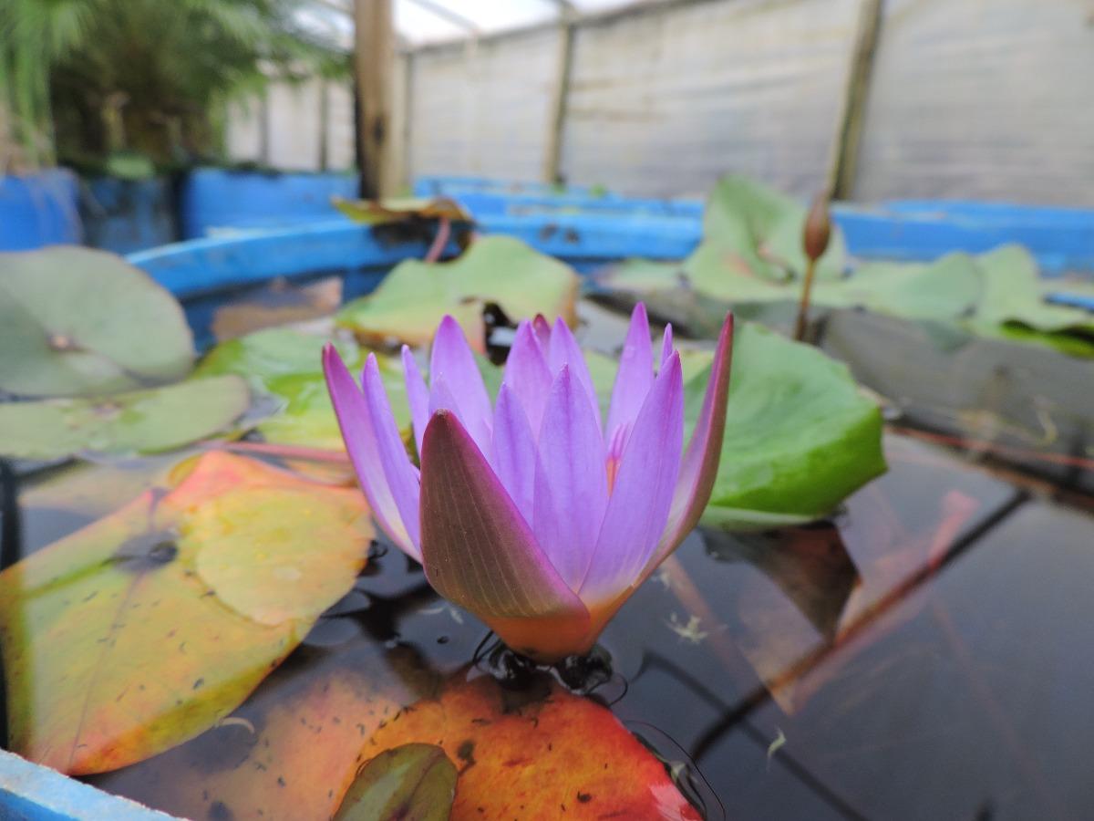 Nen far flor rosa plantas acu ticas vivero 700 00 en for Viveros en maldonado