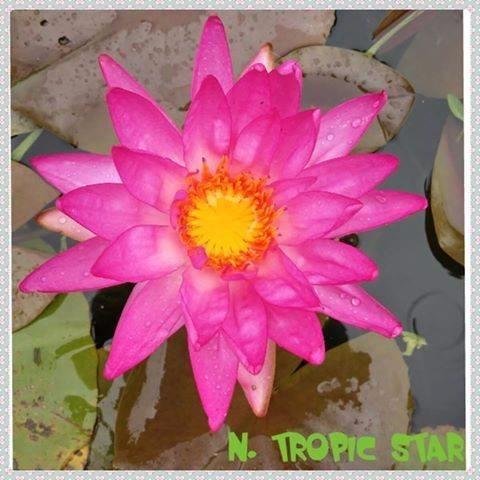nenufar isg tropic star