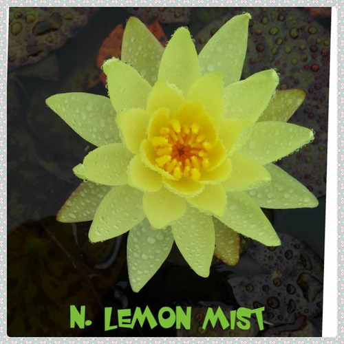 nenufar lemon mist