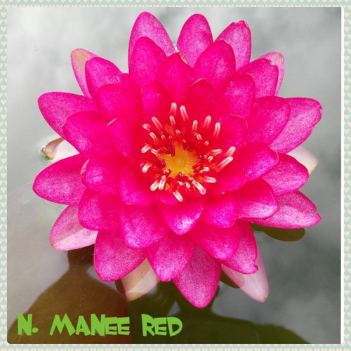 nenufar manee red