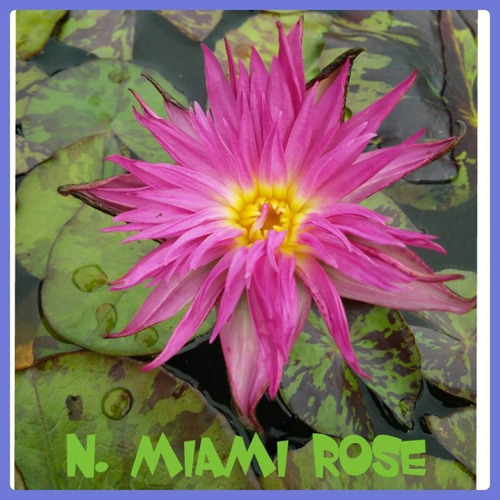 nenufar miami rose