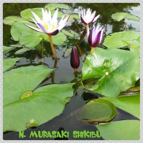 nenufar murasaki shikibu