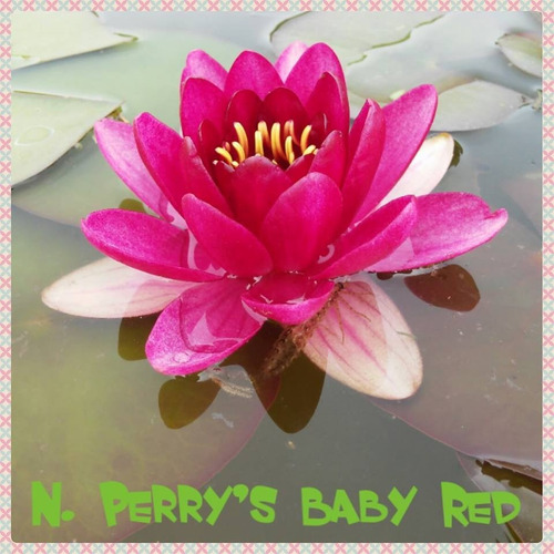 nenufar perry´s baby red