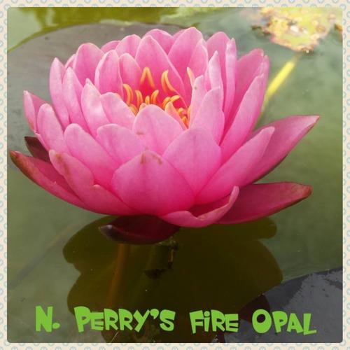 nenufar perry´s fire opal