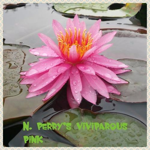 nenufar perry´s viviparous pink