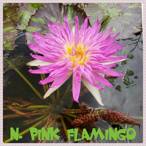 nenufar pink flamingo