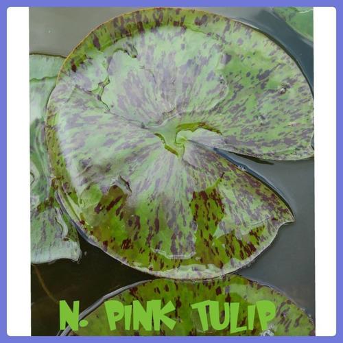 nenufar pink tulip