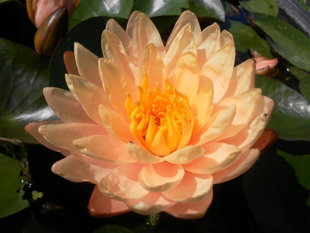 Nenufar plantas acu ticas lirio de agua lotos for Plantas para estanques de agua fria