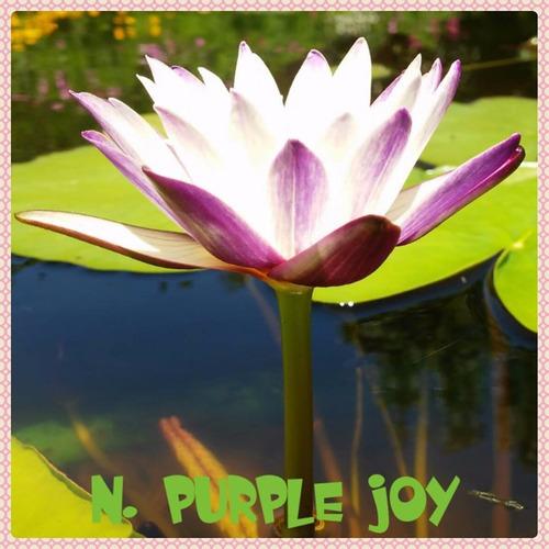 nenufar purple joy
