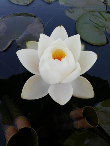 nenufar siam jasmine