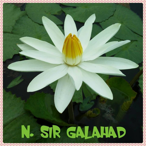 nenufar sir galahad