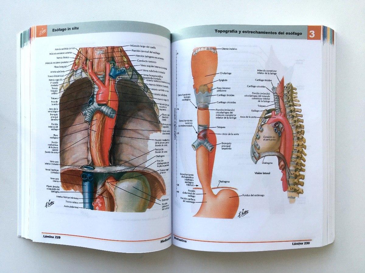 Excelente Cricofaríngeo Anatomía Muscular Fotos - Anatomía de Las ...