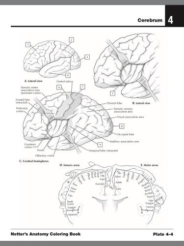 netter anatomia para colorear 2da edicion pdf hd original
