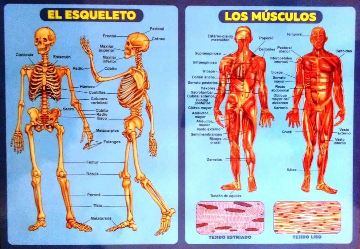 Lujoso Mejores Conferencias De Anatomía Cresta - Imágenes de ...