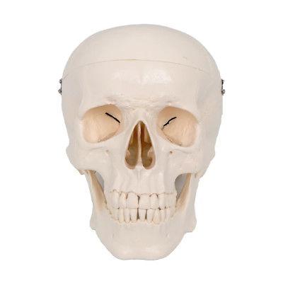 Nueva Vida Tamaño 6 Anatomía Humana Anatomía Cráneo Cabeza ...