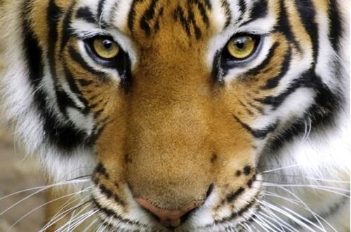 nuevo pack colgante obsidiana + pulsera ojo de tigre
