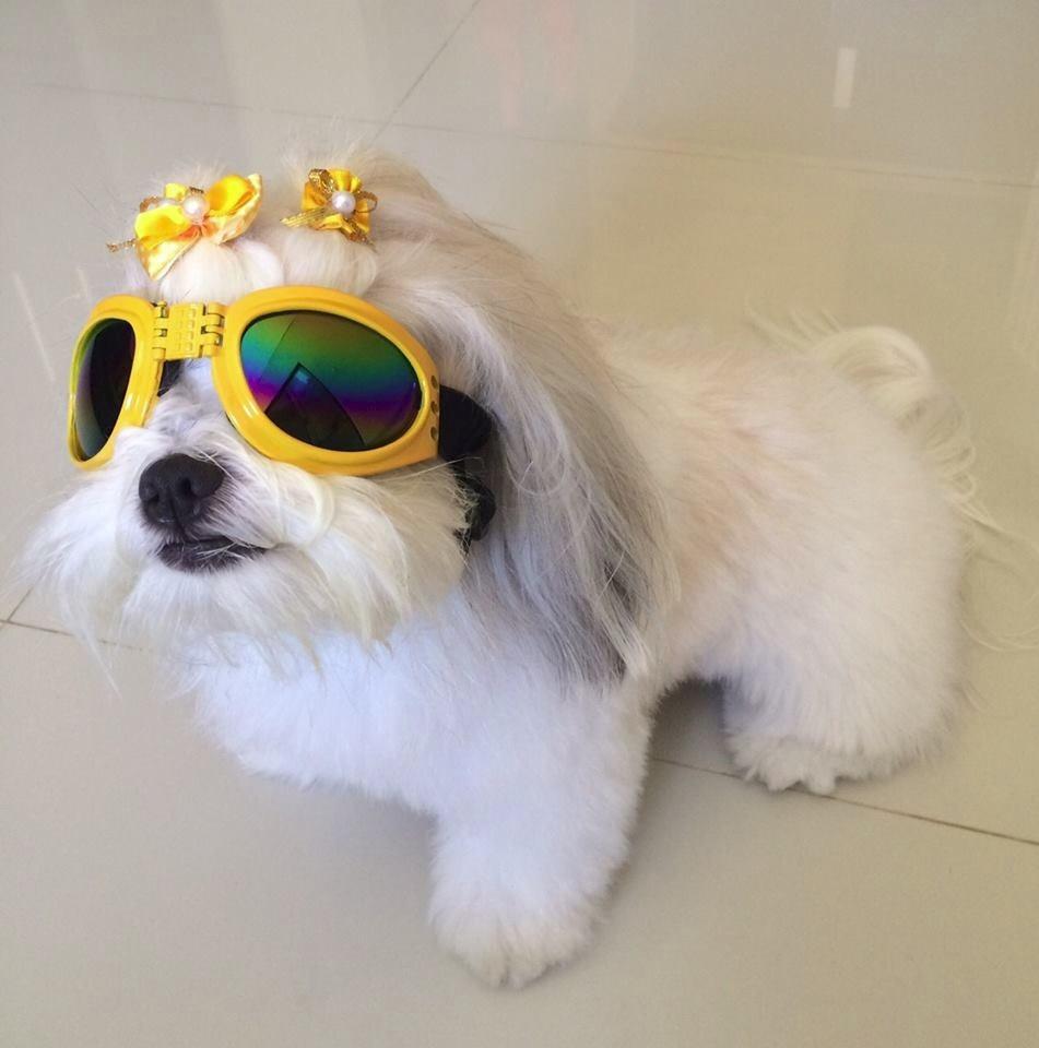 049c53084db4f Óculos De Sol Cachorro Pet Cão Proteçao Uv Várias Cores - R  34