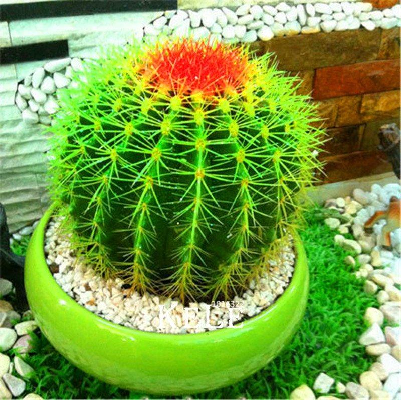 Oferta 50 semillas cactus redondo en mercado libre for Semillas de cactus chile