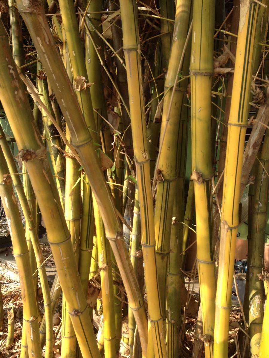 Oferta Bambu Palos Naturales Fotos Reales Barato Bs 20000 En - Palos-de-bambu