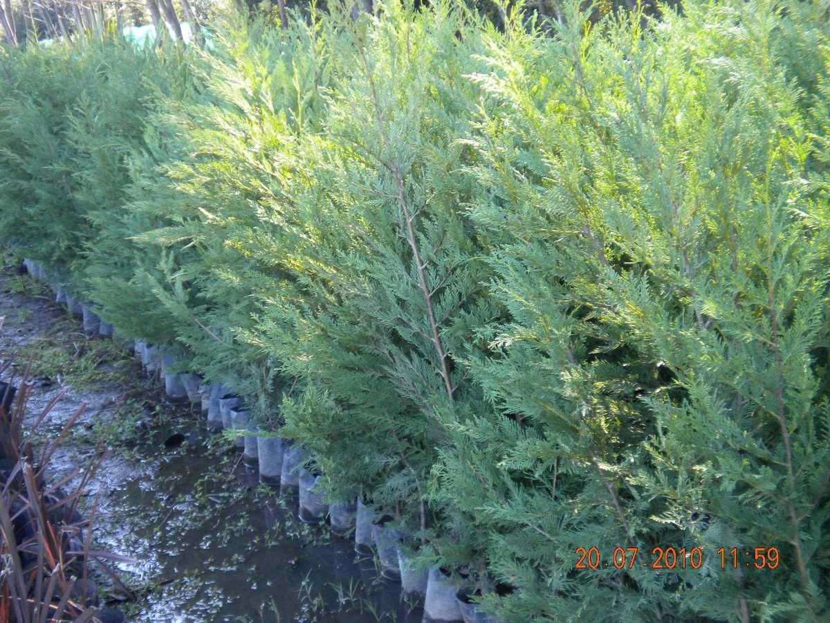 Pinos para jardin affordable la labor de diseo de los for Variedades de pinos para jardin