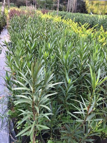 oferton!! plantas para cerco oleo texano pinos cercos vivos
