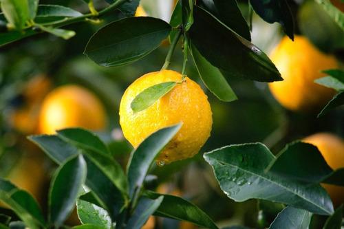 óleo de nim neem concentrado horta  repelente natural 5l