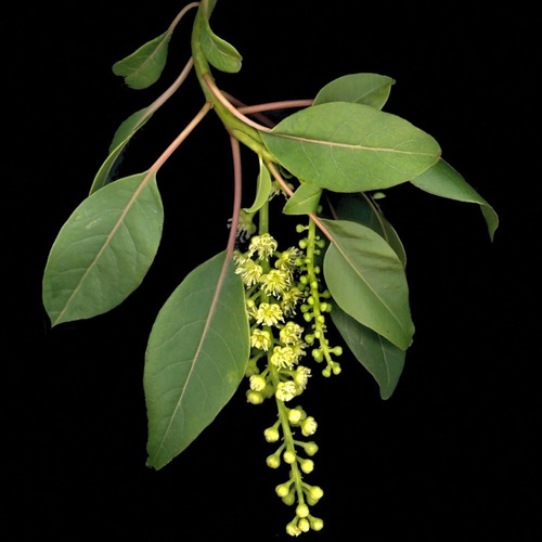 ombu  bela sombra - 30 sementes para bonsai ou árvore