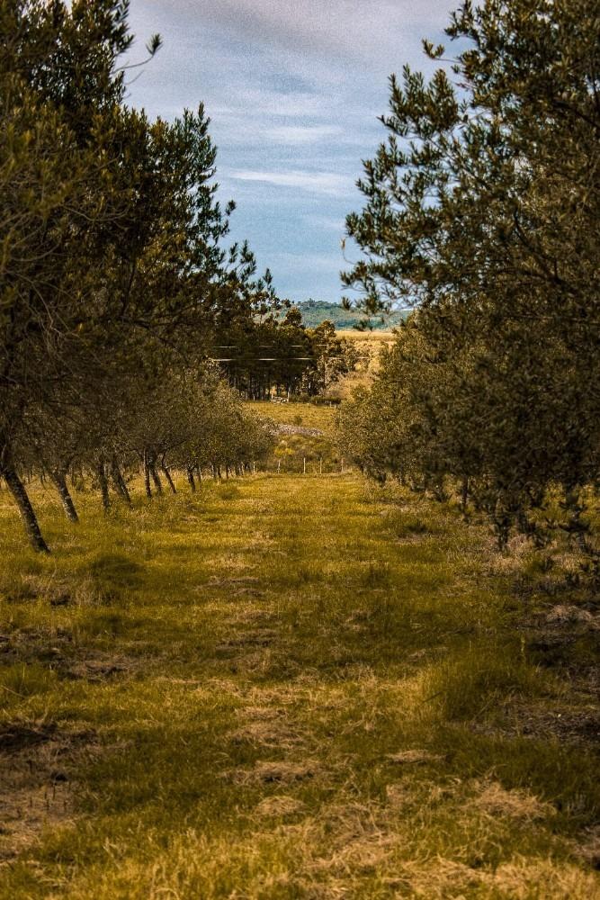 oportunidad unica!!chacra ruta12 5htas,con plantación olivos