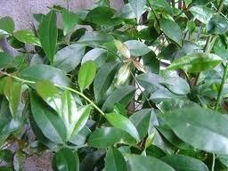 ora-pro-nobis (pereskia aculeata) - 12 estacas
