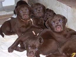 originales cachorros labrador chocolate